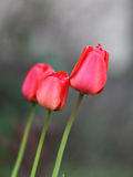 Tre röda tulpan Royaltyfria Bilder