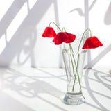 Tre röda vallmoblommor i exponeringsglasvas med vatten på den vita tabellen med kontrastsolljus och lockiga skuggor stänger sig u royaltyfria bilder