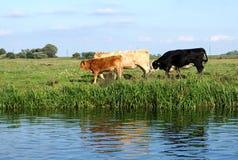 Tre (röda, vit och svart) som kor promenerar en flodstrand Arkivfoton
