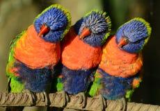 Tre Rainbow Lorikeets Immagini Stock Libere da Diritti
