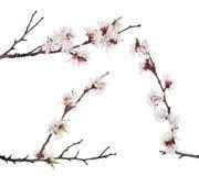 Tre rami marroni con le fioriture bianche di sakura Immagine Stock
