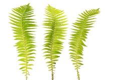 Tre rami verde chiaro della felce su bianco Immagini Stock