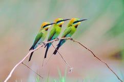 Tre regnbågebi-ätare Royaltyfria Bilder