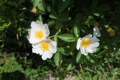 Tre rena vita blommor av steg Fotografering för Bildbyråer