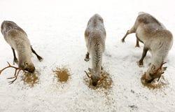 Tre renne Fotografia Stock Libera da Diritti
