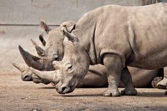 Tre rhinos alla sosta di safari di Knowsley, Regno Unito Immagini Stock