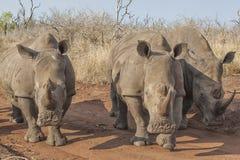 Tre rinoceronti Immagine Stock Libera da Diritti