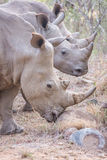 Tre rinoceronti Fotografie Stock Libere da Diritti