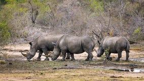 Tre rinoceronti Immagini Stock Libere da Diritti