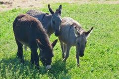 Tre roliga åsnor på ängen Royaltyfri Fotografi