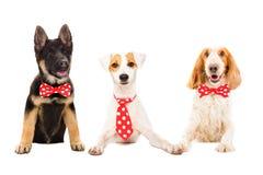 Tre roliga hundkapplöpning i röda band royaltyfri fotografi