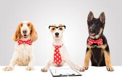 Tre roliga kontorshundkapplöpning royaltyfri fotografi