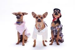 Tre roliga lilla hundkapplöpning i studio Royaltyfri Foto