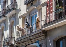 Tre roliga svin står på balkongen av ett gammalt hus, Spanien royaltyfri foto