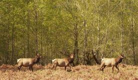 Tre Roosevelt Elk Fotografering för Bildbyråer