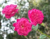Tre rosa blommor Royaltyfria Foton