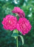 Tre rosa blommor Royaltyfria Bilder