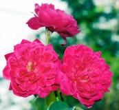 Tre rosa blommor Arkivbilder