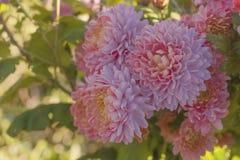 Tre rosa blommor mot en gjord suddig solig gräsplan Närbild royaltyfria bilder