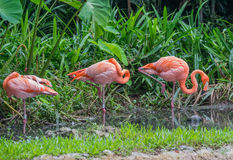 Tre rosa färg- och apelsinflamingoanseende i grunt vatten nära den gröna skogen, Singapore Royaltyfri Fotografi