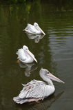 Tre rosa färger drog tillbaka pelikan som simmar på en sjö Arkivfoton