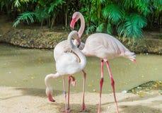 Tre rosa flamingo. Royaltyfri Foto