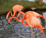 Tre rosa flamingo Fotografering för Bildbyråer