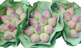 Rosa lotusblomma Panicle Arkivbild