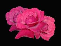 Tre rosa röda rosor Royaltyfria Bilder