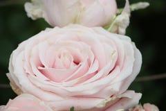 Tre rosa rosor i rad Royaltyfri Bild