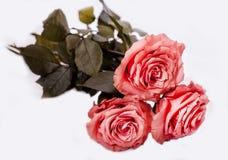 Tre rose Immagine Stock