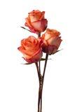 Tre rose arancioni Fotografia Stock