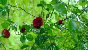 Tre rose del krysnyh sul cespuglio stock footage