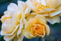 Tre rose gialle fotografia stock