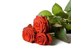 Tre rose hanno isolato fotografia stock