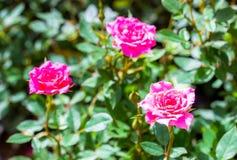 Tre rose rosa, la parte posteriore delle foglie verdi è un bello fondo fotografia stock