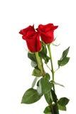 Tre rose rosse fresche sui precedenti bianchi Immagini Stock