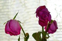 Tre rose rosse sbiadite su fondo leggero Fotografie Stock Libere da Diritti