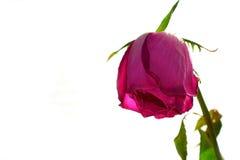 Tre rose rosse sbiadite su fondo leggero Immagine Stock