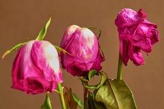Tre rose rosse sbiadite su fondo scuro Immagini Stock
