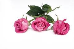 Tre rose rosse su una priorità bassa bianca Fotografia Stock Libera da Diritti