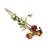 Tre rose secche sopra i precedenti isolati bianco Fotografie Stock Libere da Diritti