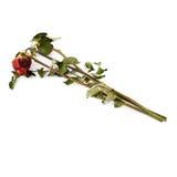 Tre rose secche sopra i precedenti isolati bianco Immagini Stock Libere da Diritti