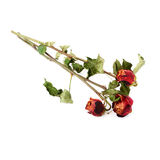Tre rose secche sopra i precedenti isolati bianco Immagini Stock
