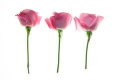Tre rosor som isoleras på vit bakgrund Royaltyfri Bild