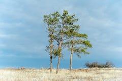 Tre sörja-träd i fältet Arkivfoto