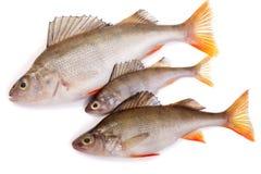 Tre salmoni Immagini Stock
