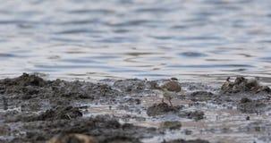 Tre-satt band brockfågel i våtmark lager videofilmer