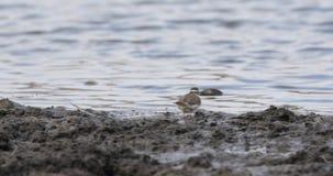 Tre-satt band brockfågel i våtmark stock video