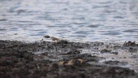 Tre-satt band brockfågel nära vatten lager videofilmer